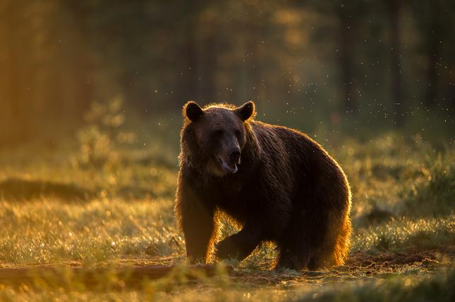 Beren, wolven, lynxen en veelvraten gaan goed in Europa