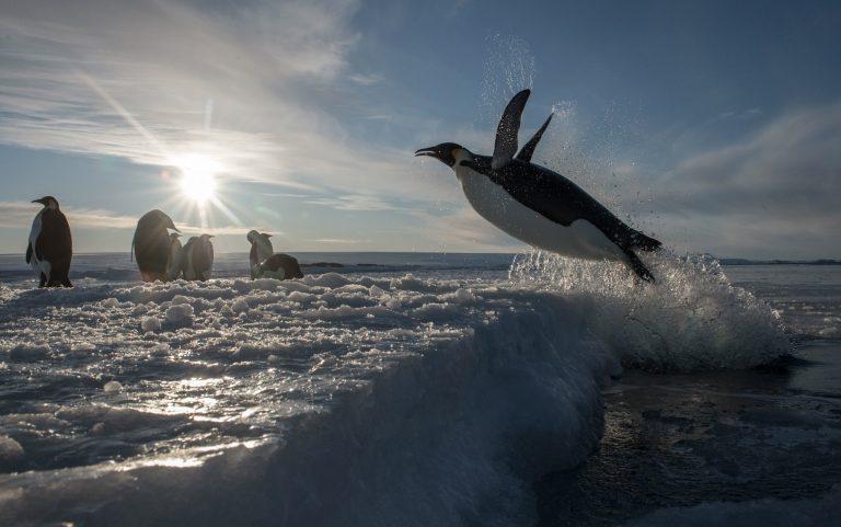 Rosszee beschermd: Goed nieuws voor de pinguïns
