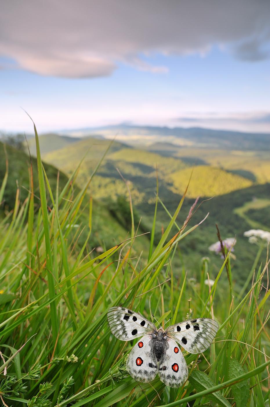 Apollon (Parnassius apollo) dans son habitat Pentes du puy de Dôme à Ceyssat (Puy-de-Dôme) Parc naturel régional des Volcans d'Auvergne