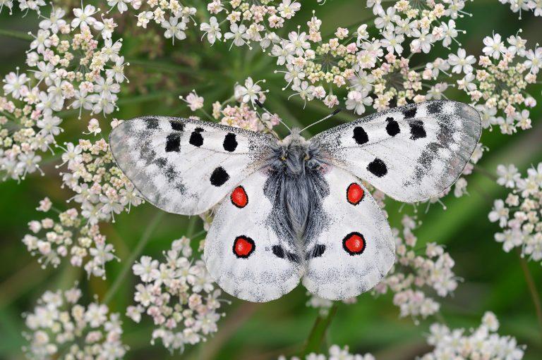 De apollovlinder is een klimaatvluchteling