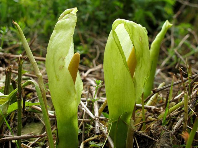 Een wreed plantje die aronskelk