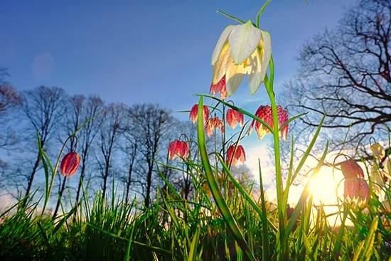 De kievietsbloem leert V&D een lesje