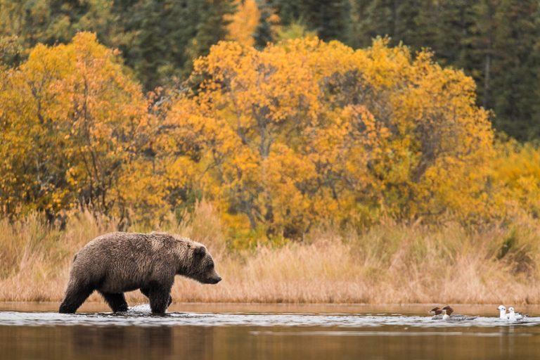 Nationaal park Katmai: land van de bruine beer