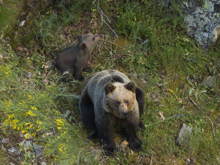 De geboorte van een bruine beer