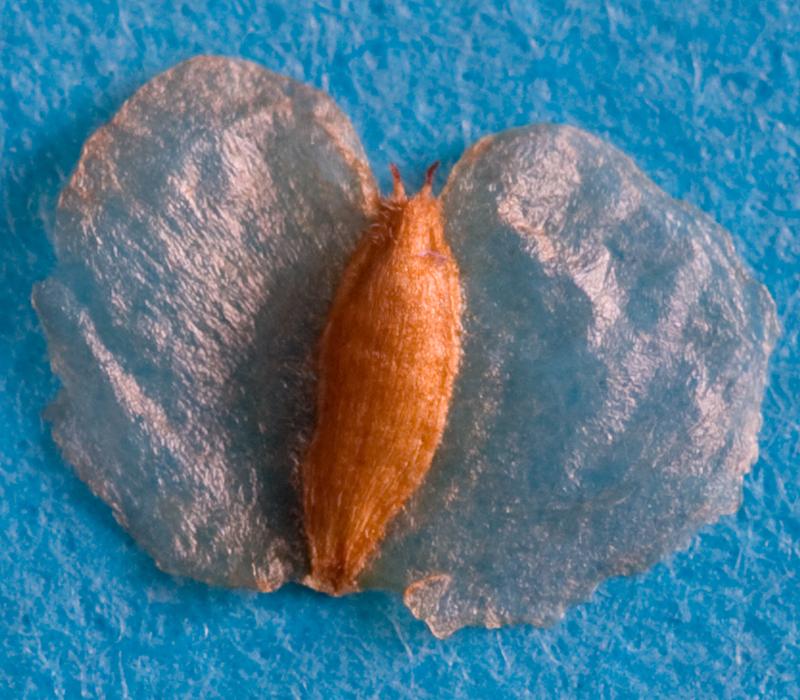 Hoe verder je inzoomt, hoe meer de zaadjes de vorm van een vlinder aannnemen. Ze hebben zelfs twee kleine antennes.