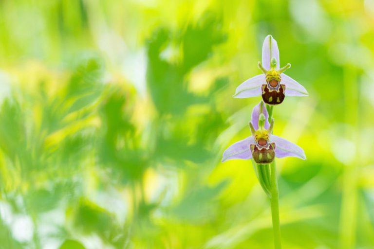 Opmars van de bijenorchis – zelfverzekerde zelfbestuiver