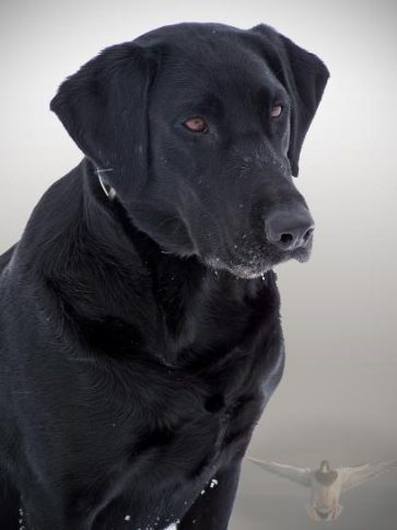 black-dog-408x544