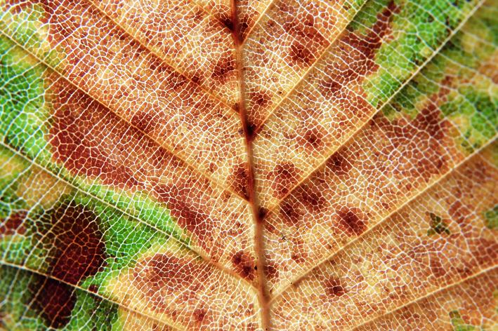 Het chlorofyl zelf bevindt zich in losjes opeengepakte cellen in de middelste bladlagen, in een sponsachtige architectuur, zodat de lucht vrij kan circuleren. De lucht komt het blad binnen via de huidmondjes aan de onderkant van het blad, beter bekend als stomata.