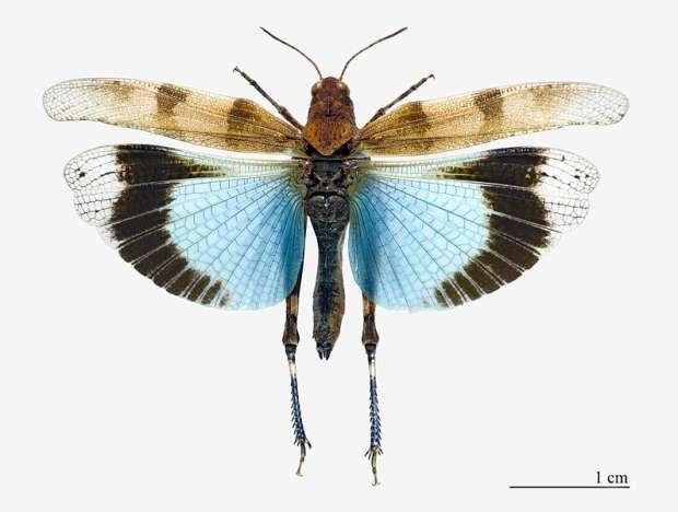 Vliegende blauwvleugelsprinkhaan