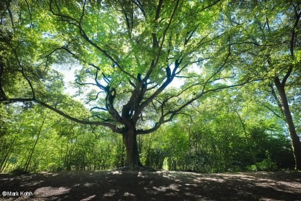Heksenboom uit Bladel is Boom van het Jaar 2019