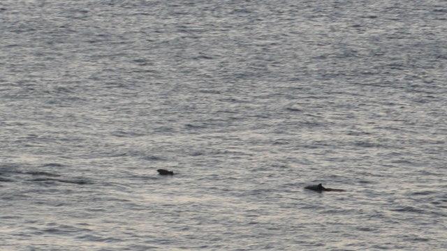 Bruinvissen op zee