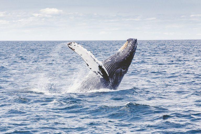 Waarom heet een walvis een 'vis' in het Nederlands?