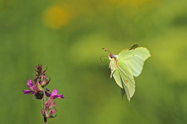 Waarom fladderen vlinders?
