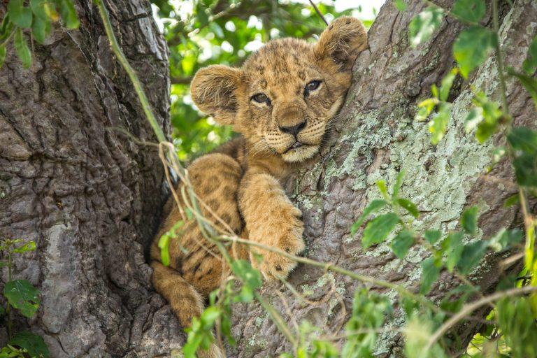 Lekker voor de tv: Big Cat Month bij Nat Geo Wild