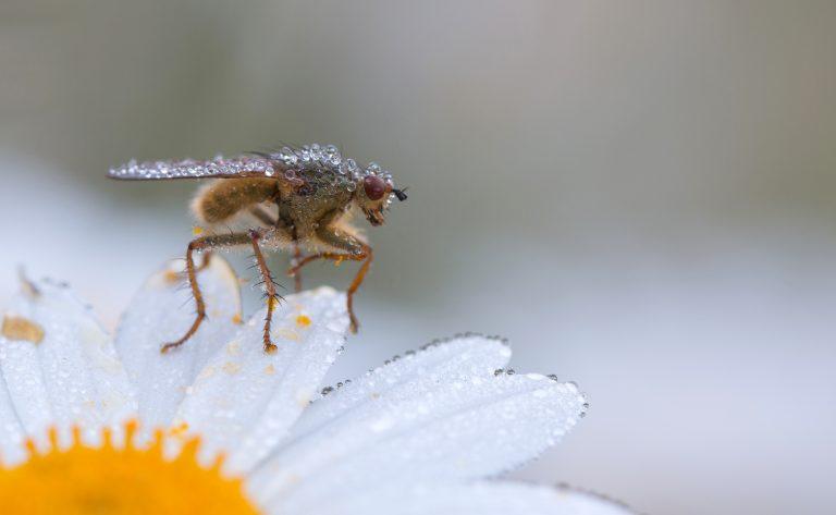 Pareltjes op een vlieg