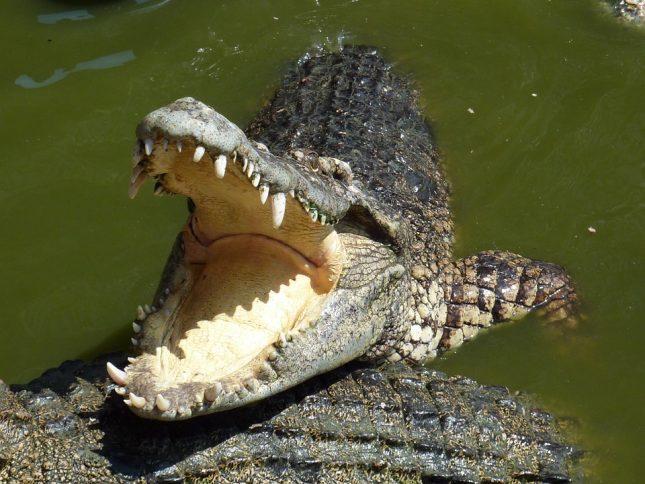 crocodile-225615_960_720