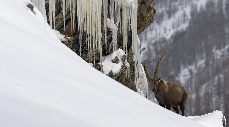 Op zoek naar steenbokken in de sneeuw