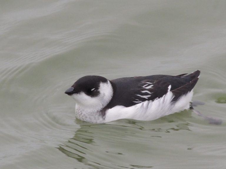 Mini-pinguïn bij Den Oever