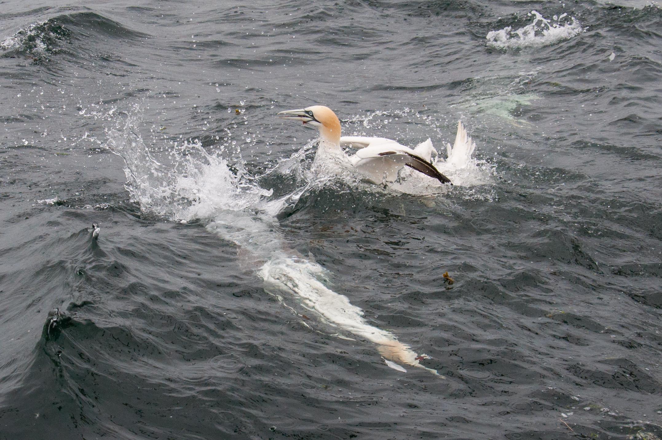 Duikend naar vis