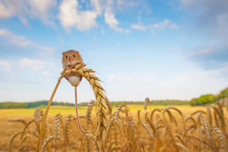 Klein duimpje: de grote wereld van de dwergmuis