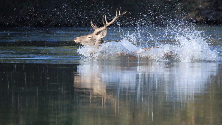 Zwemmend edelhert