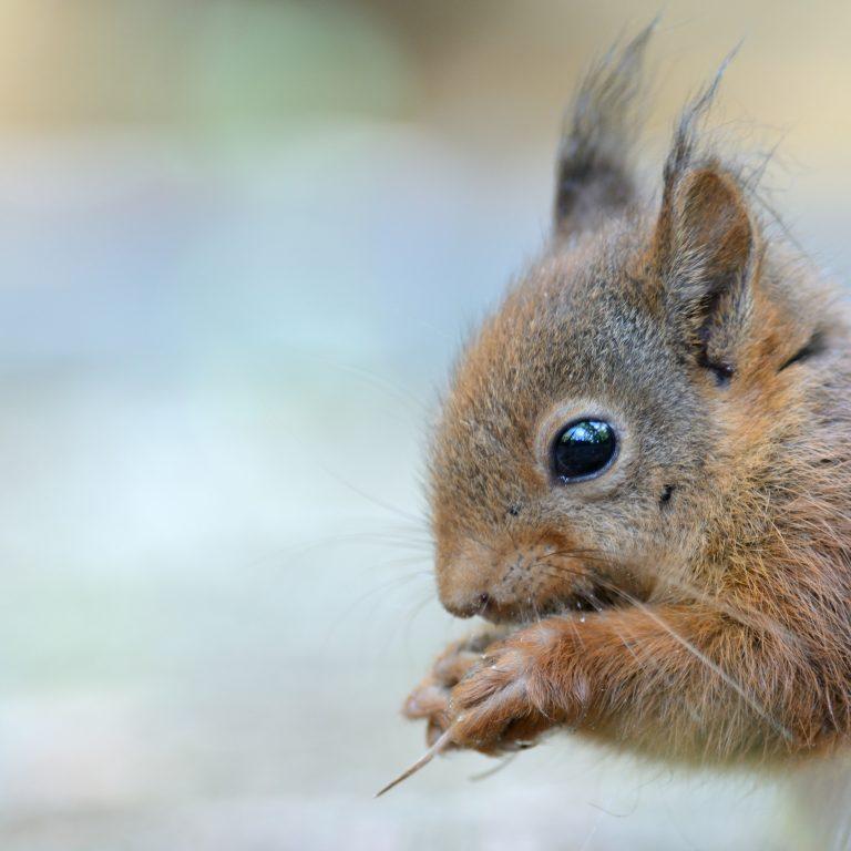 Intiem portret van een eekhoorn