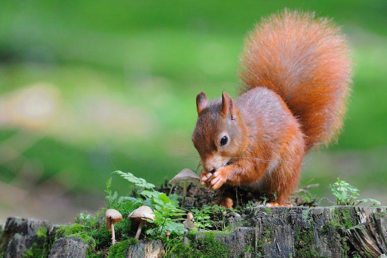 Wat een vraag: waar bewaart de eekhoorn zijn wintervoorraad?