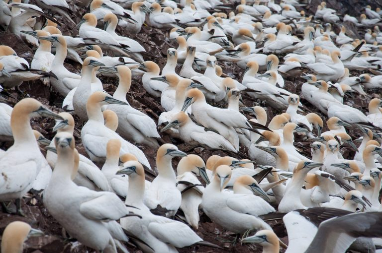 Farne Islands deel 3: 155.000 jan-van-genten op een rots