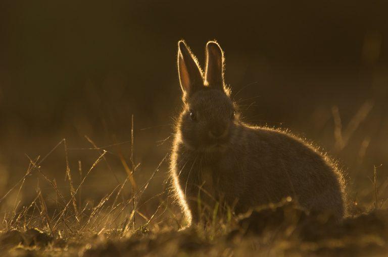 Hoeveel jongen kan een konijn in 1 jaar grootbrengen?