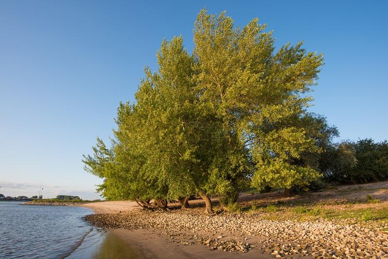 Zwarte populier; Populus nigra;