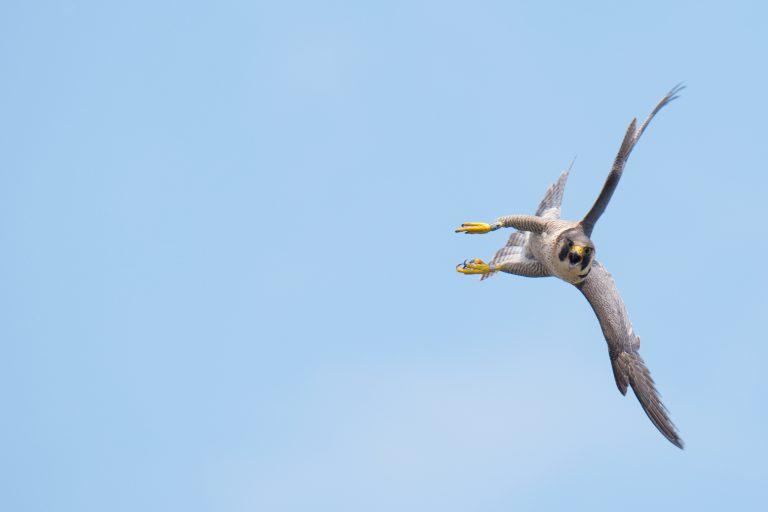 De slechtvalk vliegt vliegensvlug – en broedt torenhoog