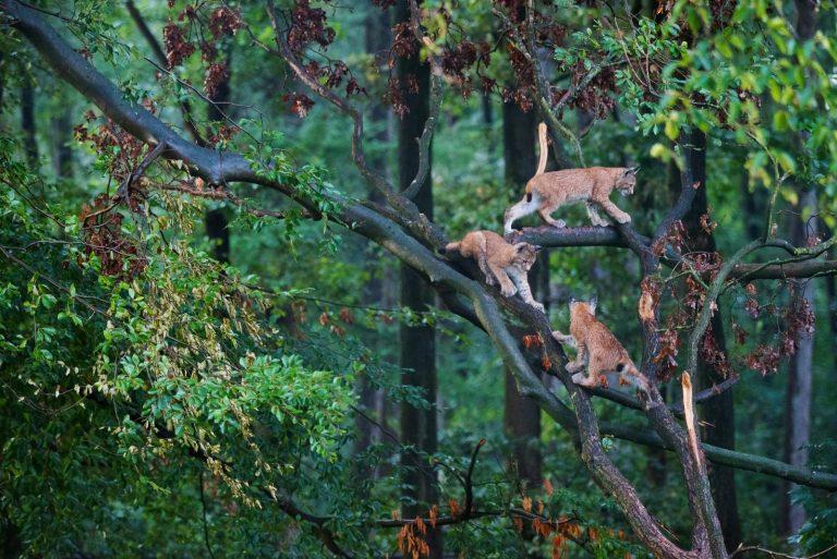 Kat met karakter: de lynx keert terug naar de lage landen