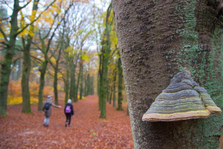 De tonderzwam op dode bomen gonst van het leven