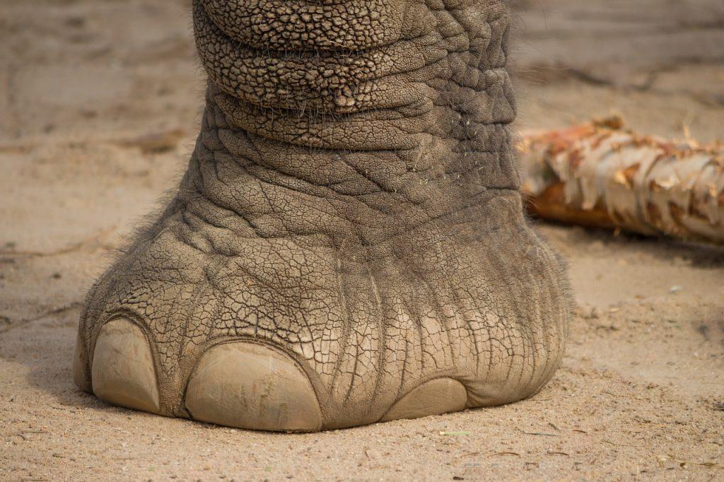 olifantenpoot