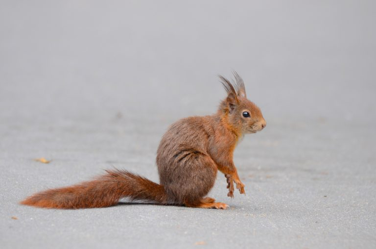 Wanneer hebben eekhoorns pluimen op hun oren?
