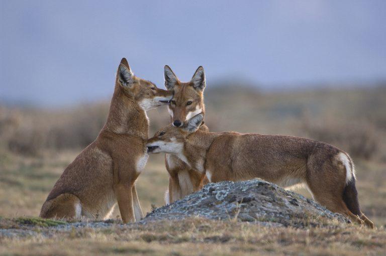 Predator en prooi: Ethiopische wolven en reuzenmolratten!