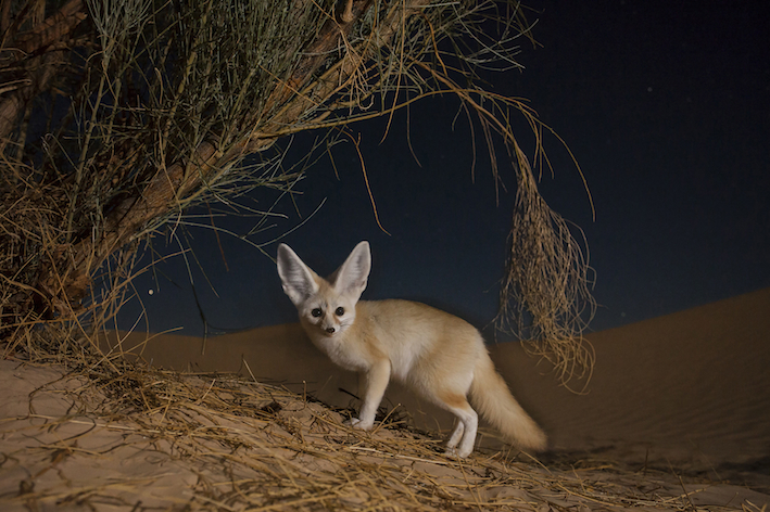 De fennekvos: een vos om verliefd op te worden