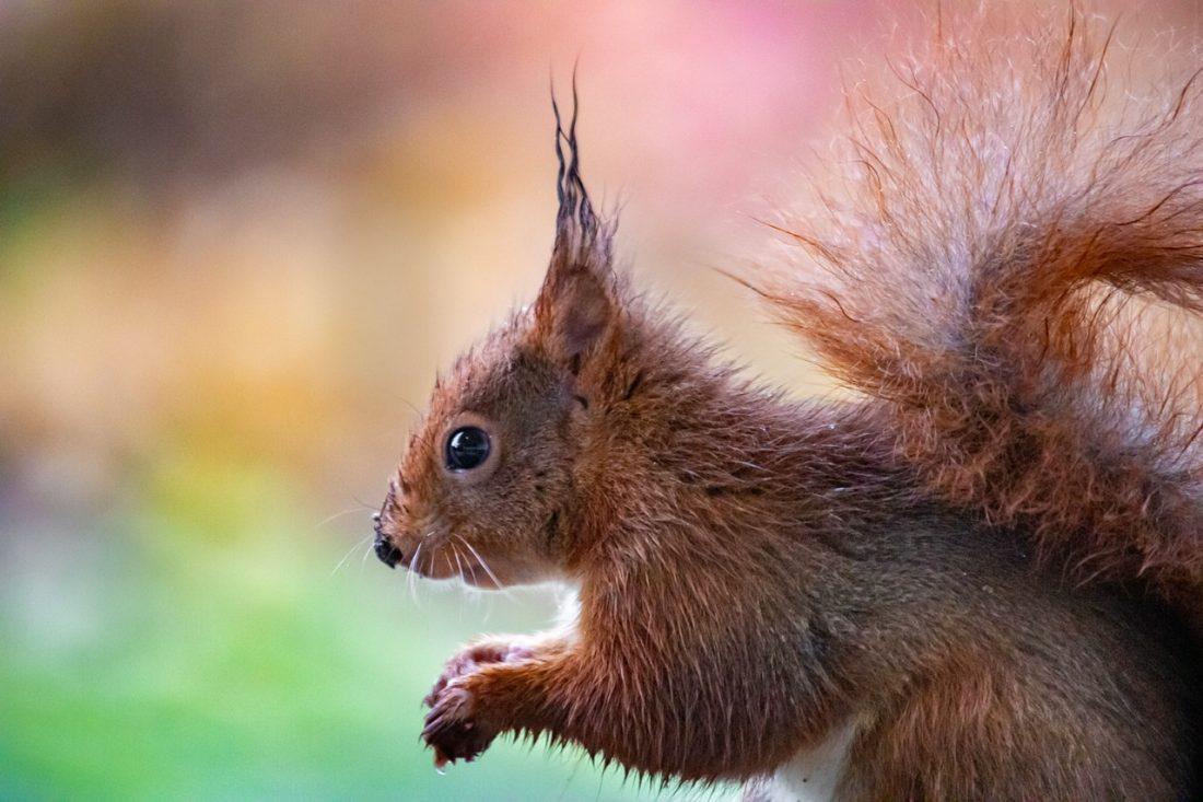 Natte eekhoorn