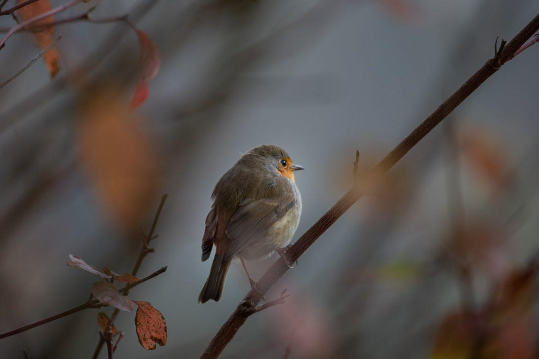Fearless Robin