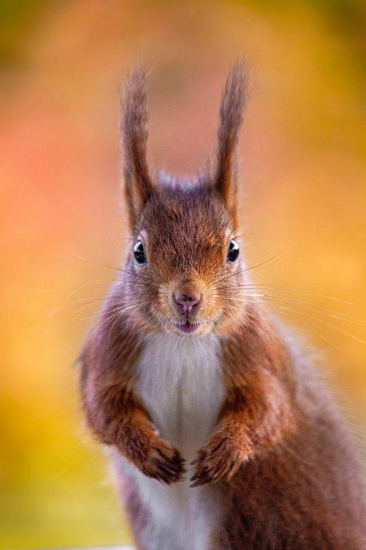 Herfstige eekhoorn