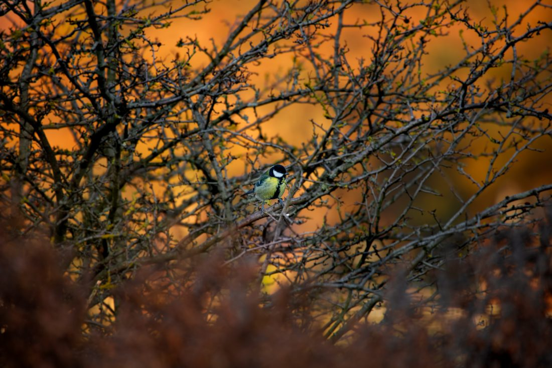 Great Tit on fire