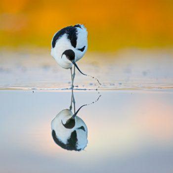 Kluut met spiegelbeeld