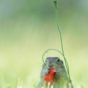 eekhoorn en klaproos