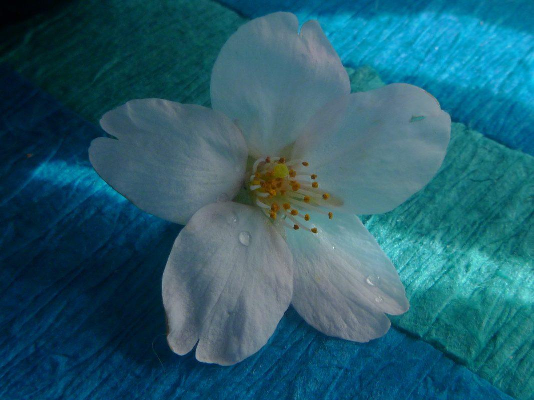 Kersenbloesem