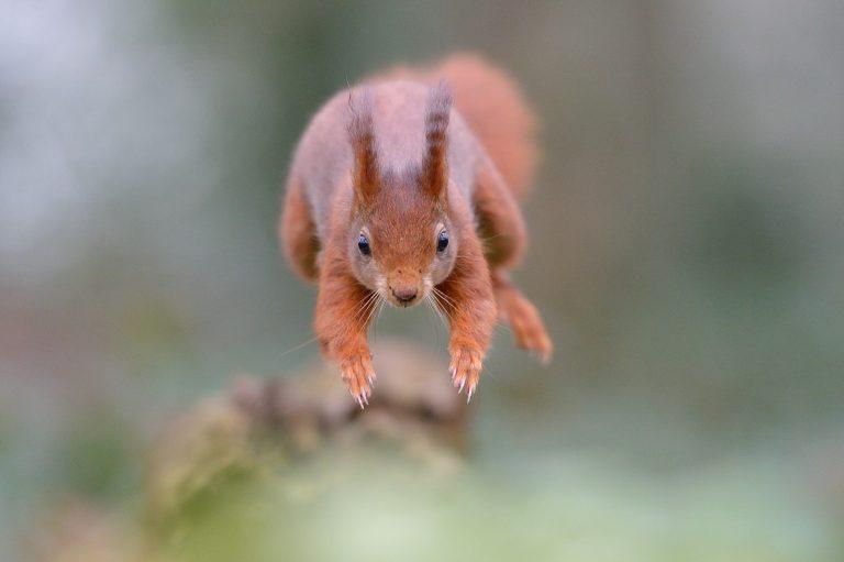 'Squeak' daar gaat een eekhoorn!