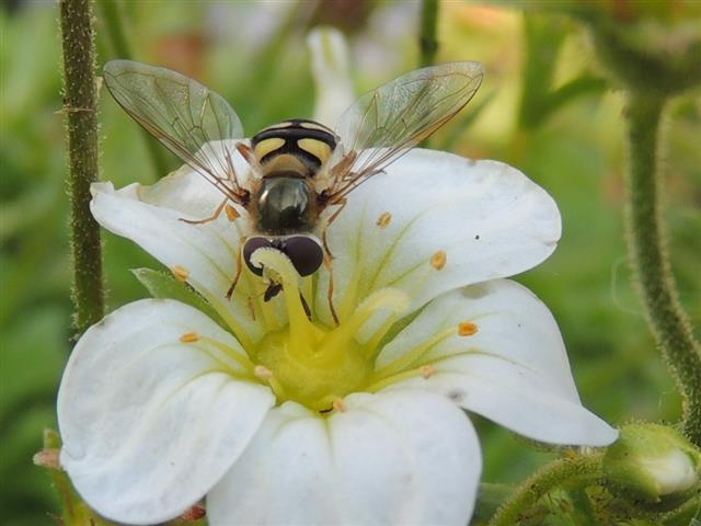 Gemiddeld zitten er in je tuin 15 soorten zweefvliegen