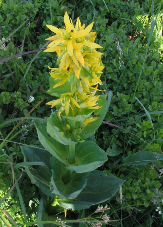 De gele gentiaan: een stoere bergbewoner