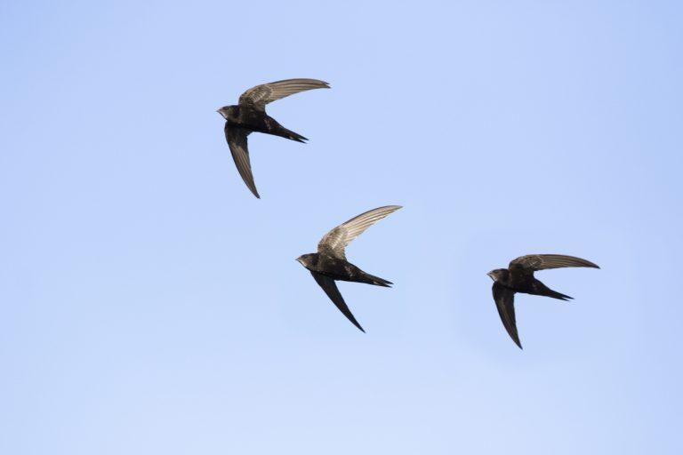 Help de gierzwaluw beter beschermen: geef nestplekken door