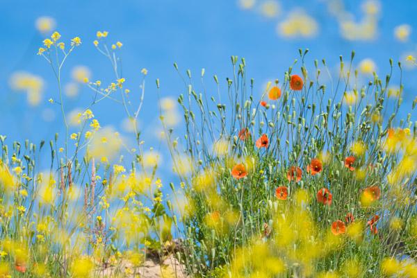 Een broedende visarend en mijmeringen bij bloeiende klaprozen