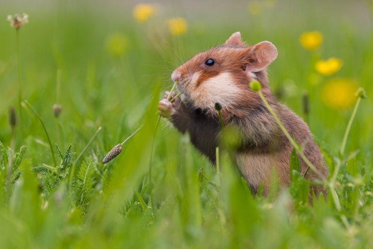 Hoe hamstert de hamster?